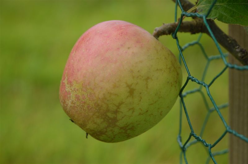 Valentine – culinary,cooking apple. Photo by Mark Jenkinson